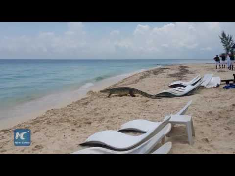 Lone crocodile visits beach and sunbathers in southern Mexico