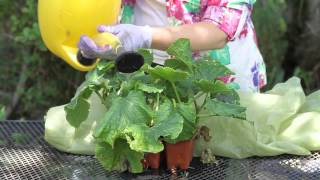 How to Save a Wilting Cucumber Plant : Garden Space