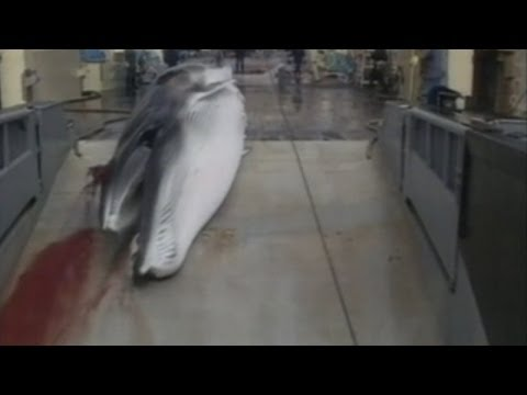 Japanese Whaling: Japan BANNED from hunting whales in Antarctic