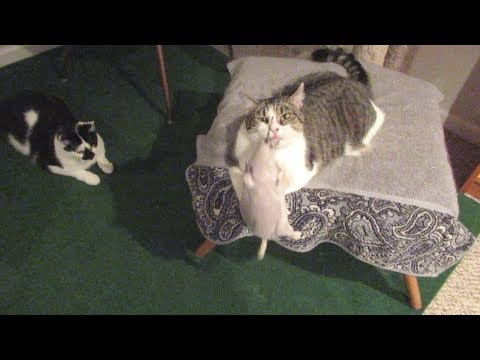 Boo Day 70 - Third Night And Day Inside, Cats Vs Toy Rat - Training And Socializing A Feral Cat