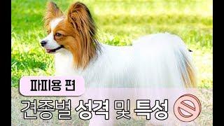 [강아지 소개] 파피용편 견종리뷰 확실하게 알아보자!
