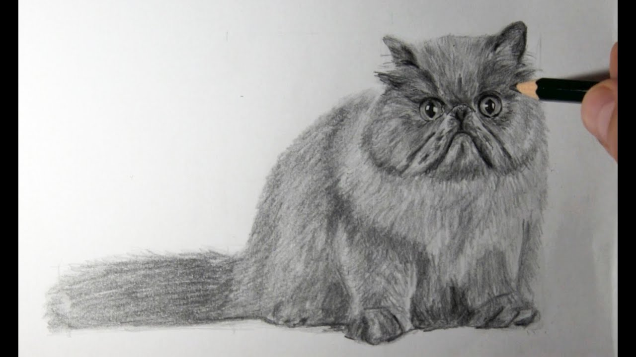 Pencil Sketch Of Persian Cat