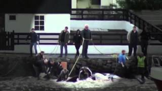 Graphic Video and Images of Pilot Whale Slaughter in the Faroe Islands