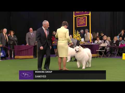 SAMOYED Westminster Kennel Club Dog Show 2018