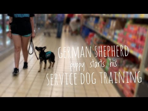 German Shepherd Puppy begins his service dog training!!!