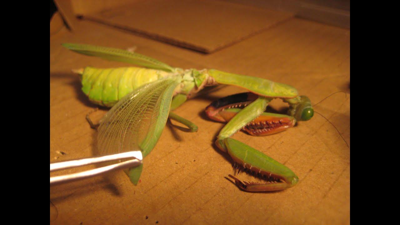 Dissecting a Giant Australian Rainforest Mantis - YouTube