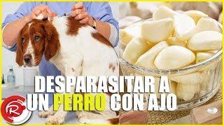 parásitos intestinales en perros efectos