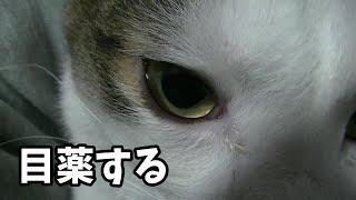 目をシバシバしている猫に目薬する