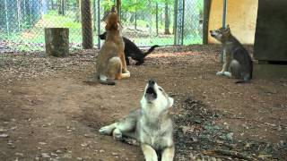 See Four Gray Wolf Puppies Howl!