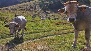 CORAM & Biodiversité Domestique Montagnarde - La Vache Gasconne - Tv Izard Esprit des Pyrénées