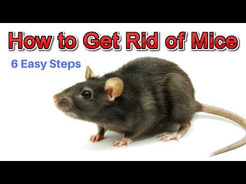 How To Get Rid Of Mice Permanently Without Professional Help