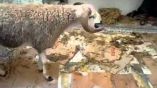 Le suicide d'un mouton au Maroc - the suicide of a sheep in Morocco