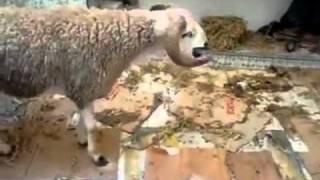 Le suicide d'un mouton au Maroc - the suicide of a sheep in Morocco