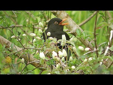 Blackbird Singing at The Stream