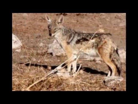 the wild animals in algeria