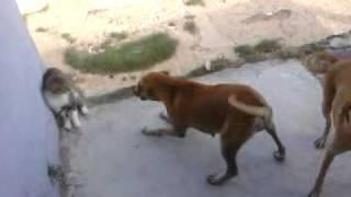 Pelea De Gatos Y Perros Youtube