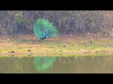 Dancing of Peacock in Nagarhole National Park