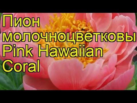 Пион молочноцветковый Пинк Хаваиян Корал. Краткий обзор paeonia lactiflora Pink Hawaiian Coral