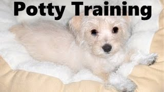 How To Potty Train A Maltipin Puppy - Malti-pin House Training Tips - Housebreaking Maltipin Puppies
