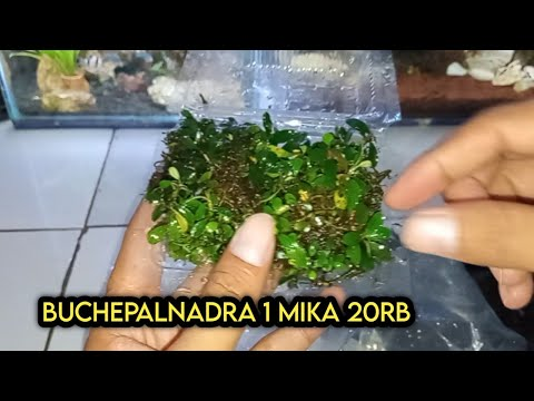 buchepalandra-tanaman-air-untuk-aquascape-1mika-20rb