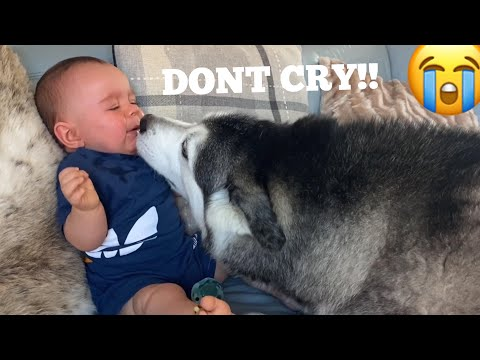 Husky Stops Baby Crying In The Cutest Way Ever!! [CUTEST VIDEO EVER!!!]