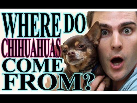"""where-do-chihuahuas-come-from?""-nickipedia:-ep.04"