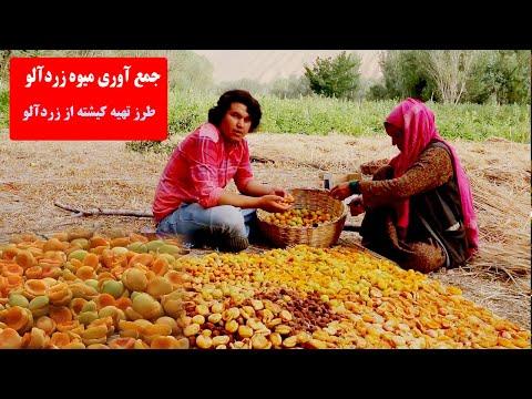 .جمع آوری میوه زردآلو Village Life In Bamyan Afghanistan /زندگی در دهکده
