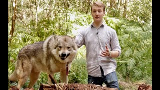 Download Owning a pet Wolfdog / Wolf Hybrid Mp3 and Videos