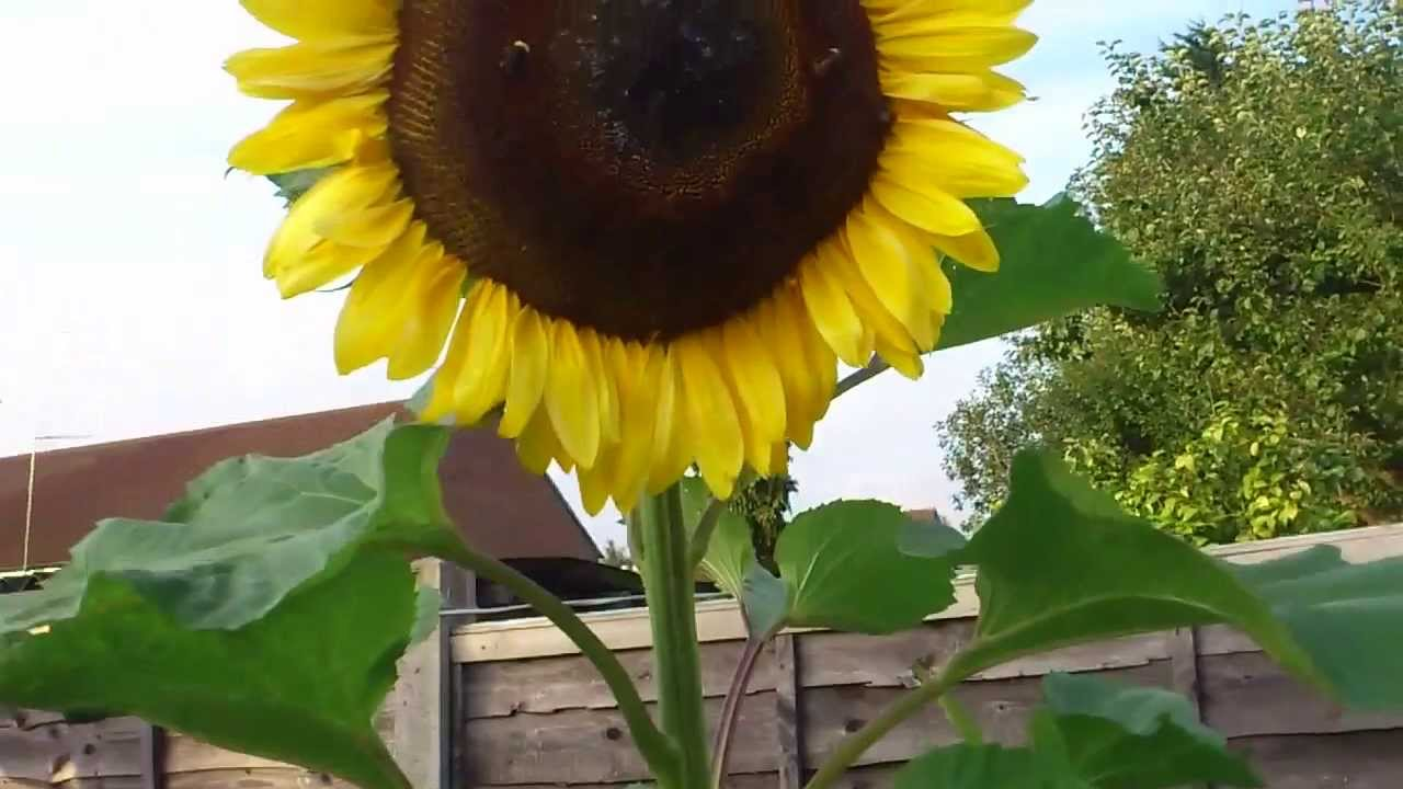 File:Sunflower head.jpg - Wikimedia Commons