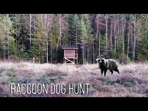 NH: Kesäillan Supikytis | Summer Evening Raccoon Dog Hunt | 2017