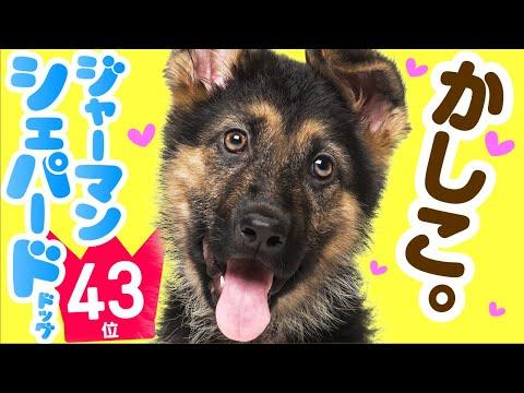 ❤人気43位【ジャーマン・シェパード・ドッグってどんな犬?】子犬の価格や性格、寿命、飼いやすさは? カワイイ動画でチェック!