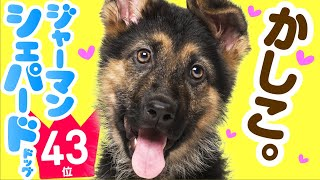 ❤️人気43位【ジャーマン・シェパード・ドッグってどんな犬?】子犬の価格や性格、寿命、飼いやすさは? カワイイ動画でチェック!