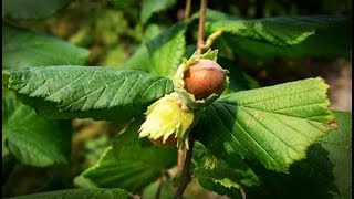 Botánica: Avellano (Corylus Avellana) |ABSsupervivencia|