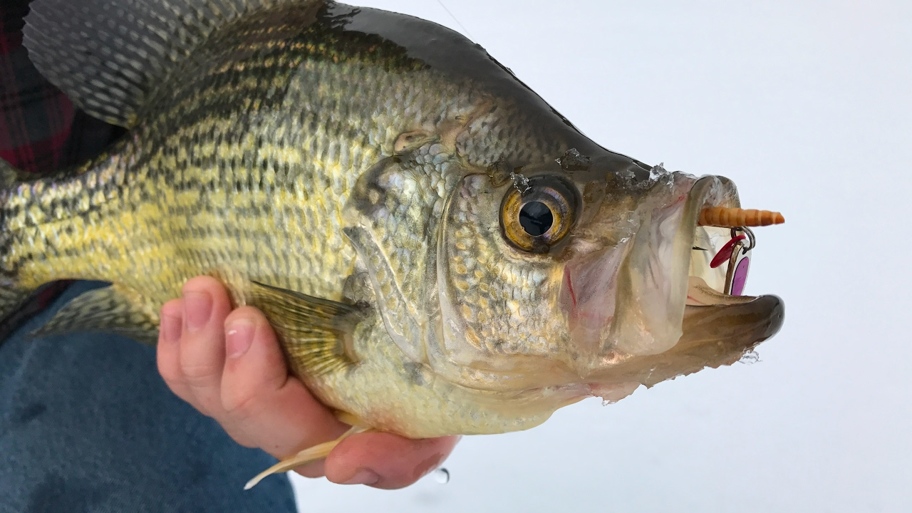 Ice fishing big perch and crappie 4k video youtube for Ice fishing perch