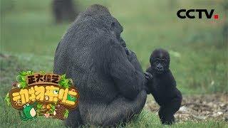 [正大综艺·动物来啦]选择题 幼年大猩猩拍胸脯代表什么意思?| CCTV