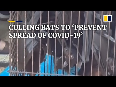Hundreds Of Bats Culled In Indonesia To 'prevent Spread' Of The Coronavirus
