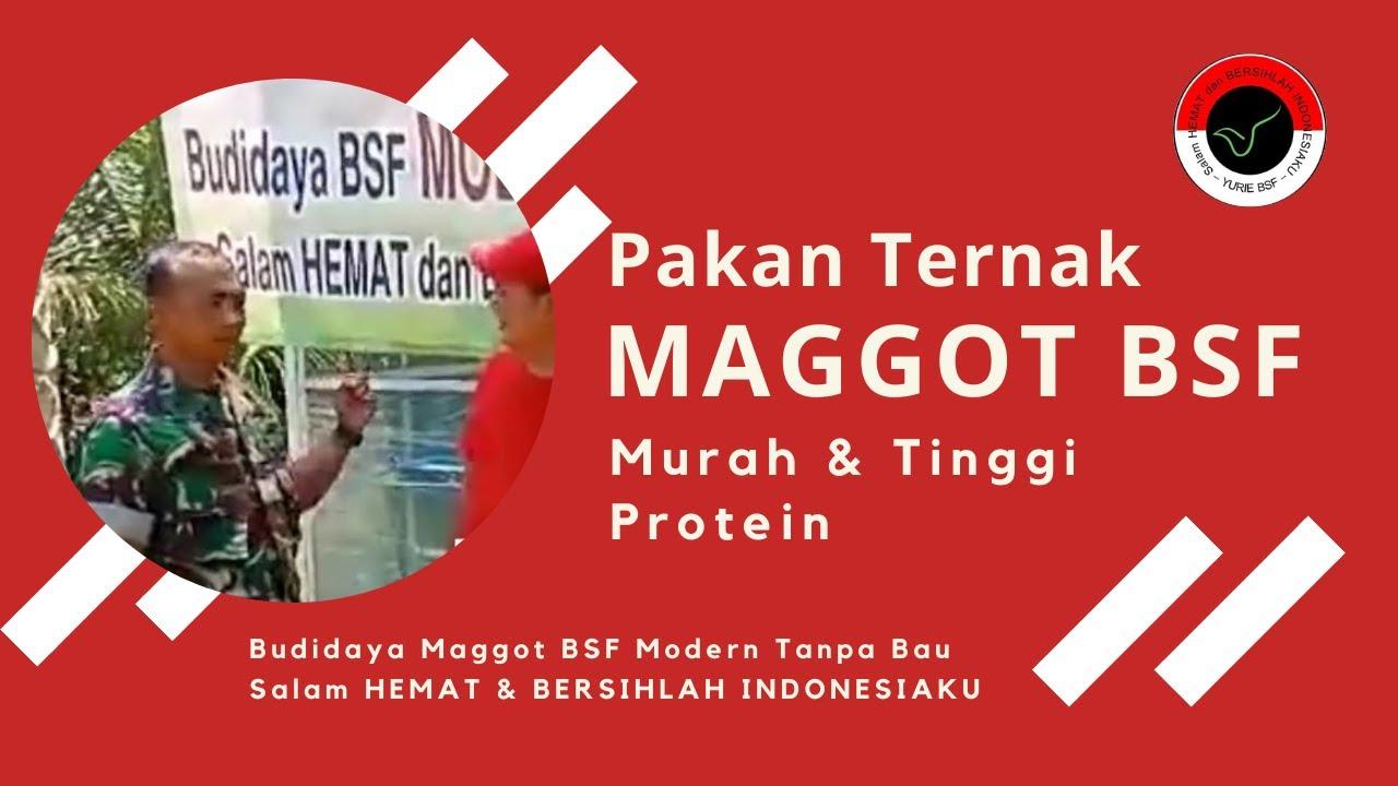 Maggot Solusi Biaya Pakan Ternak Budidaya Maggot BSF Modern Tanpa Bau