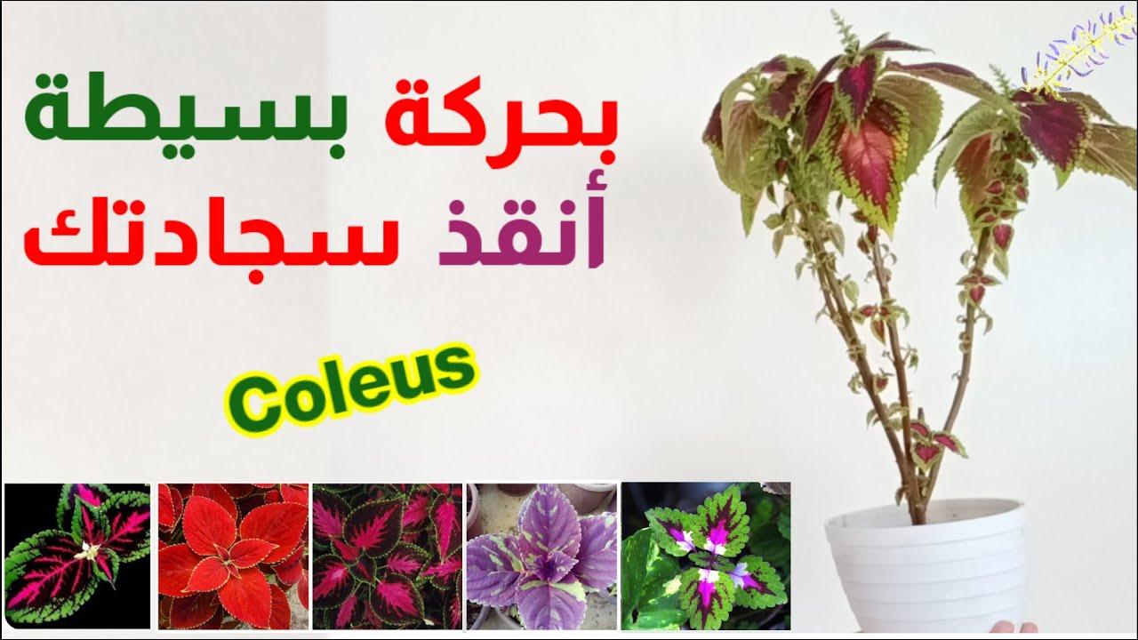 حركة بسيطة أنقذ نبات السجادة الكوليس نبتة السجاد او القطيفة الموبرة Coleus Youtube