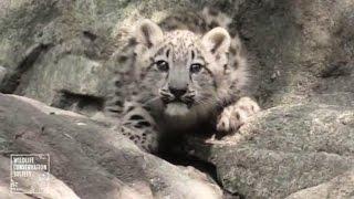 Детёныши снежного барса покорили посетителей зоопарка в Нью-Йорке (новости) http://9kommentariev.ru/