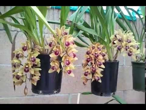 dia lan anh moi-2013 (cymbidium orchid)
