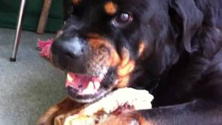 Very Angry Rottweiler !