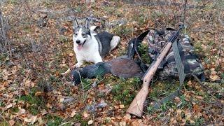 Охота на рябчика и глухаря с лайкой видео