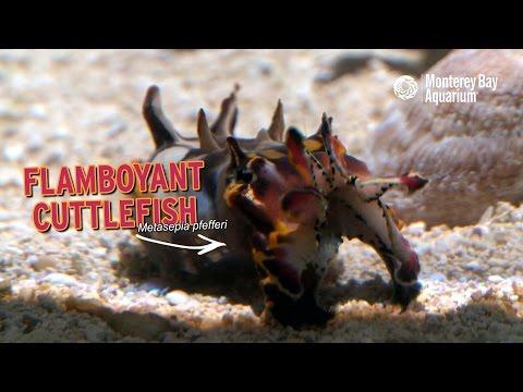 Flamboyant Cuttlefish — Regal Rainbow Rhinos!