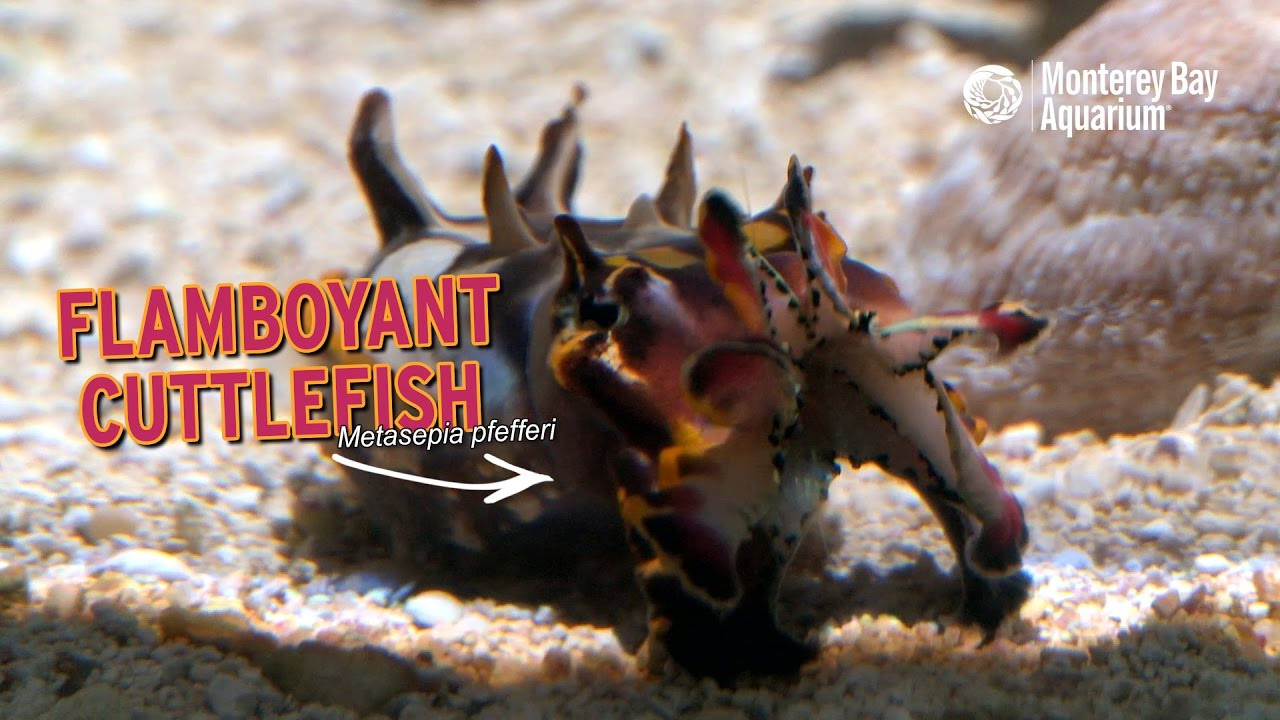 Flamboyant Cuttlefish — Regal Rainbow Rhinos!