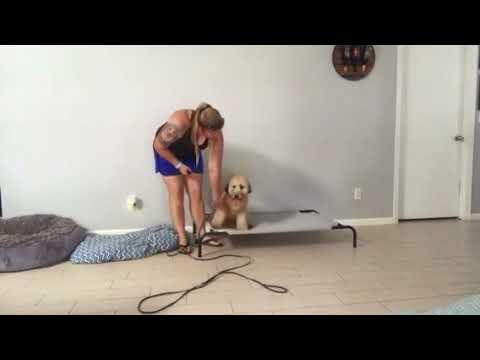 6mo Wheaten Terrier Remy ~ Best Wheaten Terrier Trainers Phoenix