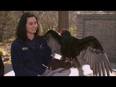Cool Critters: Turkey Vultures - KQED QUEST