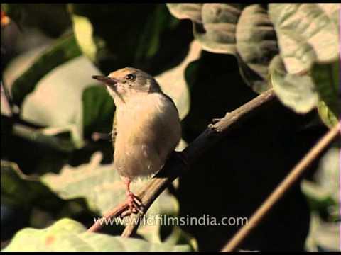 Common Tailorbird - A songbird found across tropical Asia