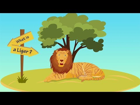 Liger Facts | Big Cat Rescue
