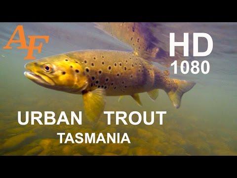 Fly Fishing Brown n Rainbow Trout Urban Flyfishing Tasmania Andysfishing EP.90