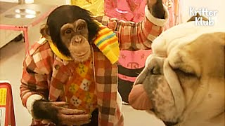 Smart Chimpanzee And Lovely Dog Go Shopping In A Supermarket Like Hoomans | Kritter Klub